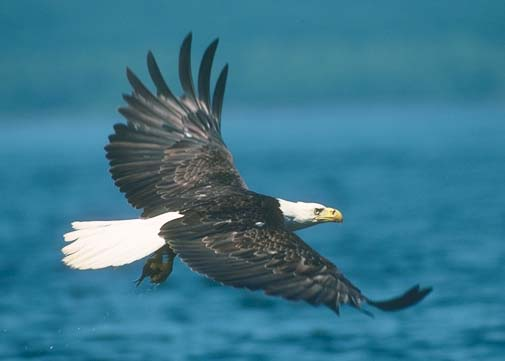 image of eagle soaring over water