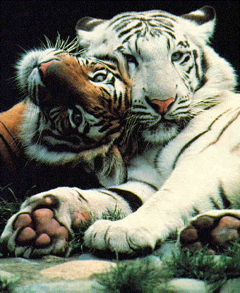 siberian and white tiger image