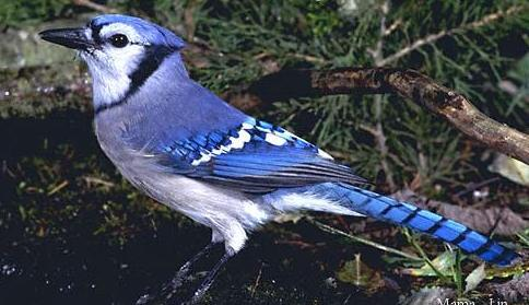 pic of a blue jay
