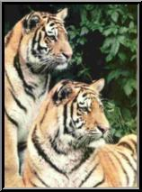 two tigers image