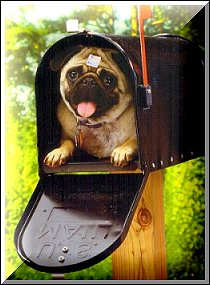 image of Woodfield- a pug dog